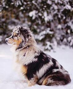 Blue Merle Aussie in the snow