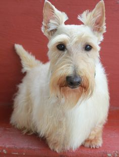 Rocky Creek Scottie Adventures - this pretty Wheaten reminds me of our Maggie