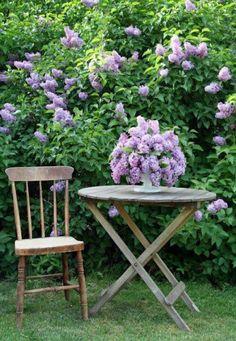 Lilacs, and more lilacs