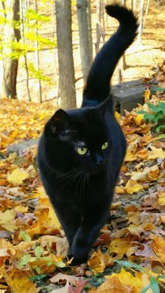 Such a sleek looking black cat. - - - Such a sleek looking black cat. – – Such a sleek looking black cat. Cute Cats And Kittens, Cool Cats, Kittens Cutest, Black Cat Aesthetic, Magic Cat, Photo Chat, Cat Photography, Cat Breeds, Cat Memes