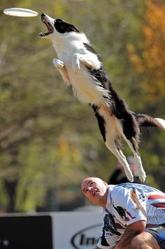 Border collie Gipper, 5, jumps off of the back of handler Mark Muir, of Williamson, Ga., during the Incredible Freestyle Flying Disc Qualifying.