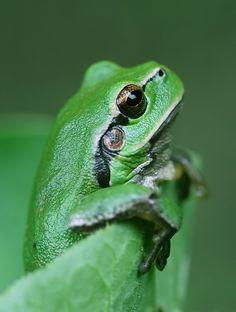 Kiss...: Photo of green frog by Photographer Mycatherina Katka