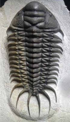 amnhnyc: Time for Trilobite Tuesday! Trilobites have been around—either alive or as fossils—for more than half a billion years. They've been studied by scientists for more than 300 years, yet new species are continually being discovered and named. This elegant Crotalocephalus africanus from the Devonian of Morocco was only found and identified during the last few years, after previously unexplored geologic layers were opened up near the Atlas Mountains. It's been estimated that more than ...