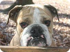 1/12/15 Trenton, NJ - English Bulldog. Meet Angel, a dog for adoption. http://www.adoptapet.com/pet/12241264-trenton-new-jersey-english-bulldog
