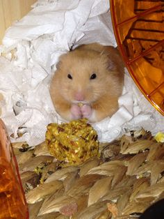 Yum! Hamster enjoying his dinner.