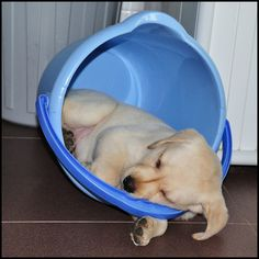 Must of been very sleepy... #Labrador