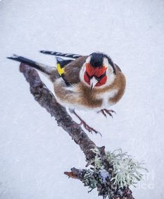 European Goldfinch, Carduelis carduelis.