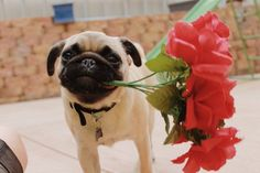 calithepug:  Will you be my valentine?