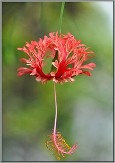 Unusual Flowers, Pretty Flowers, Hibiscus Schizopetalus, Angel Plant, Hibiscus Flowers, Blossom Flower, Flower Pictures, Beautiful Roses, Flower Power