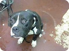 POOR BENTON IS SCAREDAtlanta, GA - American Pit Bull Terrier. Meet BENTON, a dog for adoption. http://www.adoptapet.com/pet/16596934-atlanta-georgia-american-pit-bull-terrier