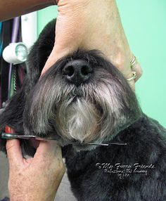 A few weeks ago I wa A few weeks ago I was asked to show how I groomed the head on the rescue dog that I competed with in Hershey. I have been waitin. Schnauzer Grooming, Dog Grooming Tips, Dog Grooming Business, Pet Tips, Dog Grooming Styles, Dog Grooming Salons, Schnauzers, Shih Tzu, Yorkshire Terrier