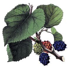 *The Graphics Fairy LLC*: Antique Image - Beautiful Mulberries - Botanical