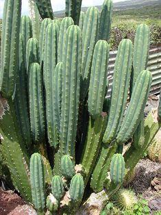 Echinopsis pachanoi - Wikipedia, the free encyclopedia