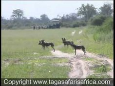 The Wild Dogs of Chitabe