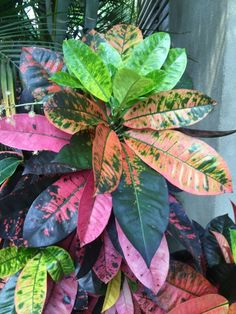Beautiful houseplant interesting coloring of leaves Croton