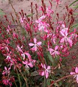 """***Gaura 'Geyser Pink'; A well branched, compact habit that free flowers until the first frost. Strong branches support large, long-lasting blooms. Plant in full sun for best results. Tolerates drought, heat and humidity. 18-20"""""""