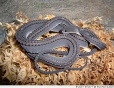 A rare glimpse of one of the worlds most elusive and spectacular snakes, the Dragon Snake [Xenodermus javanicus]