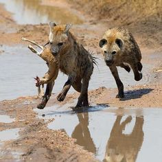 """""""Hyena Chase  It was wonderful to watch spotted hyenas in action in Tanzania this summer. They live in matriarchal, highly social groups in a way unlike…"""""""