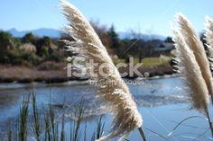 'Toitoi' or 'Toetoe' Grass Royalty Free Stock Photo Kiwiana, Fall Photos, Native Plants, Image Now, New Zealand, Grass, Flora, Royalty Free Stock Photos, Magic