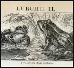 Frogs and Toads Surinam Toad Horny Tree Frog Natural History antique print