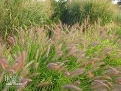Red bottlebrush plumes of Pennisetum alopecuroides 'Red Head' contrast with the abundant seedheads of 8' tall native switchgrass, Panicum virgatum 'Thundercloud'.
