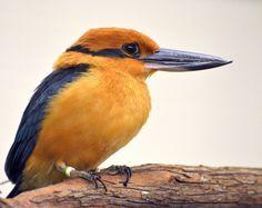 Guam Kingfisher (Todirhamphus cinnamominus) formerly Micronesian Kingfisher.