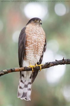 Sharp Shinned Hawk (Accipiter striatus). Endangered in the state of Connecticut.