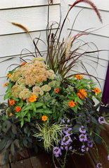 Purple fountain grass provides the height, sedum and zinnia do the filling; and black sweet potato vine, a golden carex and verbena finish it off as the spillers.  Most of these fast-growing, plants are annuals,...