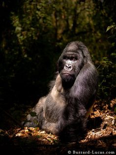 """Any seasoned photographer has a sense of """"the moment"""" — that split-second where, even if it is only a split-second, a breathtaking photo opportunity presents itself. In a dark Rwandan forest in 2009, the Burrard-Lucas brothers got just that when they found this male silverback gorilla, who decided to plop down right beneath a shaft of light. """"When everything aligns for a great shot like that, it's always very exciting,"""" Will says. """"But you still have to concentrate so you don't mess it up."""""""