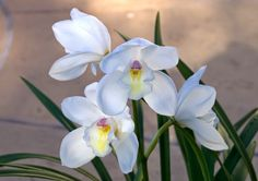 Orchid C - option 5, 6, or 7