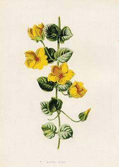 Money Wort, Vintage Yellow Flower illustration