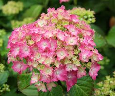 The frilly petals on this compact plant are stunning. Strong German lineage and beautiful vivid colors stand out on this because they are of...