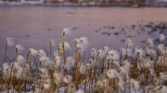 Arctic cotton grass in summer. Photographed by Clare Kines
