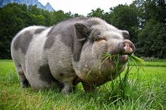 A Pot Bellied Pig: So very happy in his natural habitat!