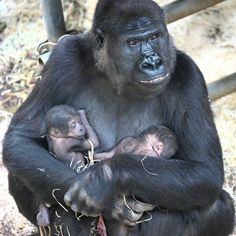 When zoo keepers entered the Gorilla House at the Netherlands' Burgers' Zoo on 6/13/13, they were taken by surprise:  N'Gayla, the 20-year-old female Gorilla, had delivered twin babies overnight!