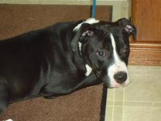 """EUTH DATE: 08/27/13 >>> """"Snookie"""" is a Female, Black/White, Pit Bull Terrier. She is around 6 months old and will be due to be put down on 8-27-13.  Morgan County Animal Control, Jacksonville, IL (217)-245-4015   dogs8@frontier.com"""