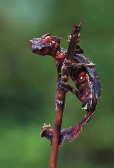 ecocides:    The Satanic Leaf Tailed Gecko (Uroplatus phantasticus)| image: Piotr Naskrecki