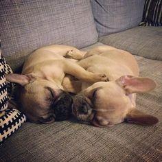 2 adorable French Bulldog Puppies napping.
