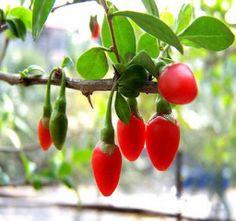 jagody goji, zdrowa żywność, zdrowe odżywianie, dieta, diety, fit, odchudzanie, vibio.pl