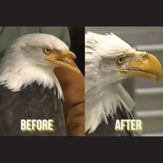 CHECK OUT THIS video of a dentist helping design a new beak for this injured bald eagle! Isn't it amazing what modern technology can do?