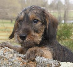 Willow Springs Miniature Wirehaired Dachshunds | Puppies #Dachshund