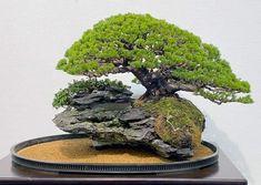 Bonsai Forest, Bonsai Garden, Bonsai Styles, Japanese Flowers, Concrete Planters, My Flower, Landscape Architecture, Herbs, Plants