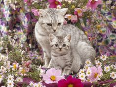 Domestic Cat, British Shorthaired Silver Spotted Tabby with Her 8-Week Kitten Among Flowers