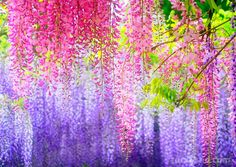 Purple Wisteria Bonsai Flower Seeds DIY Home Garden Bonsai Plants Wisteria Sinensis Pot Plants Seed Wisteria Tree, Purple Wisteria, Wisteria Tunnel, Chinese Wisteria, Wisteria Garden, Garden Plants, Vegetable Garden, Pot Plants, Wisteria Japan