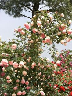 #Rosierblanc #PierredeRonsard #Rosierbicolore #Parfum #Rose #Eden #Edenclimber #Romantique #Deco #Jardin #Bouquet Bouquet, Plantation, Deco, Flowers, Nature, Plants, Parfum Rose, Pink, Roses