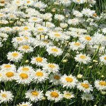 Leucanthemum superbum - Shasta Daisy Laspider