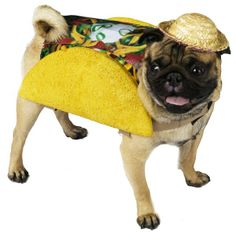 Taco Pug! ~ pugaddict.com ~ join our Facebook page at http://www.facebook.com/pages/Pug-Addict/621471274575369