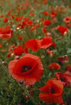 A Mass Of Red Poppies Grow In Luberon