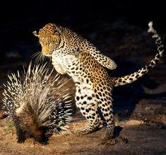 Porcipine versus Leopard