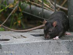 Rattus rattus Photos Mouse Pictures, Animal Pictures, Diy Rat Toys, Pet Rats, Pets, Rat Queens, Black Rat, Rat Boy, Warrior Cats